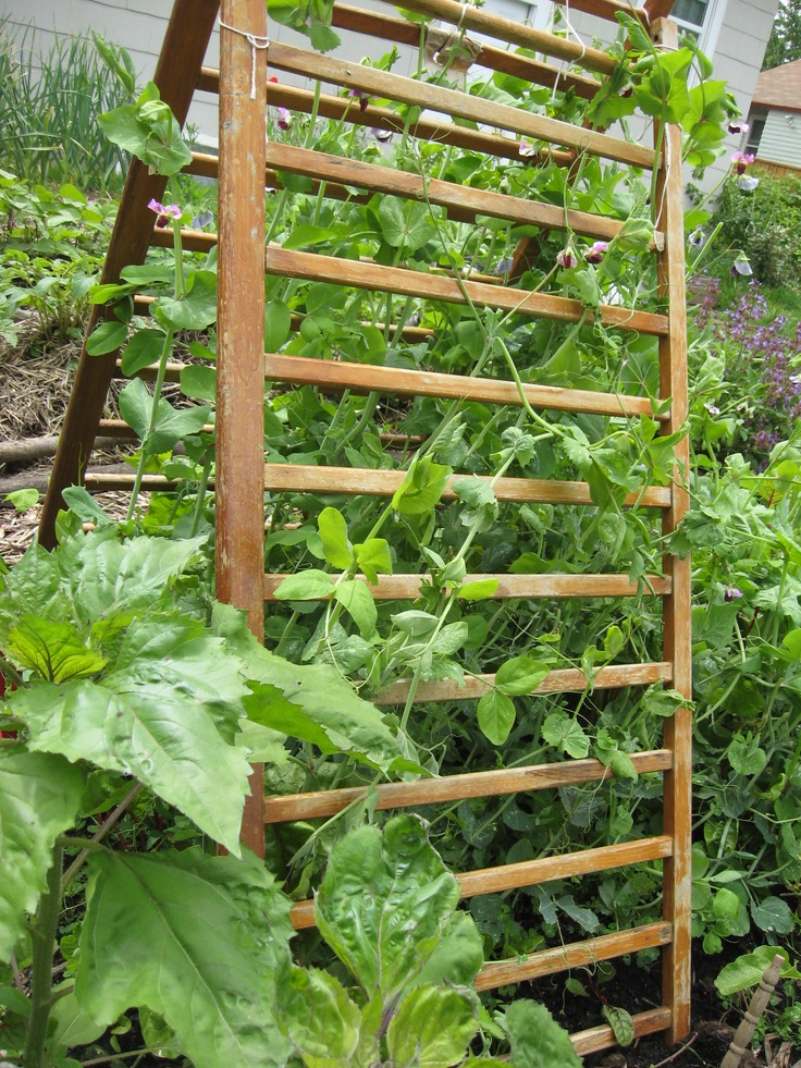 Use a set of old crib rails for a quick and easy pea trellis. This one from a 1950 crib is still going strong after 7 yrs in the garden.
