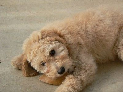 Training Doodle Puppies- Aussiedoodle and Labradoodle Puppies | Best Labradoodle Breeders in Washington State, Portland, Oregon