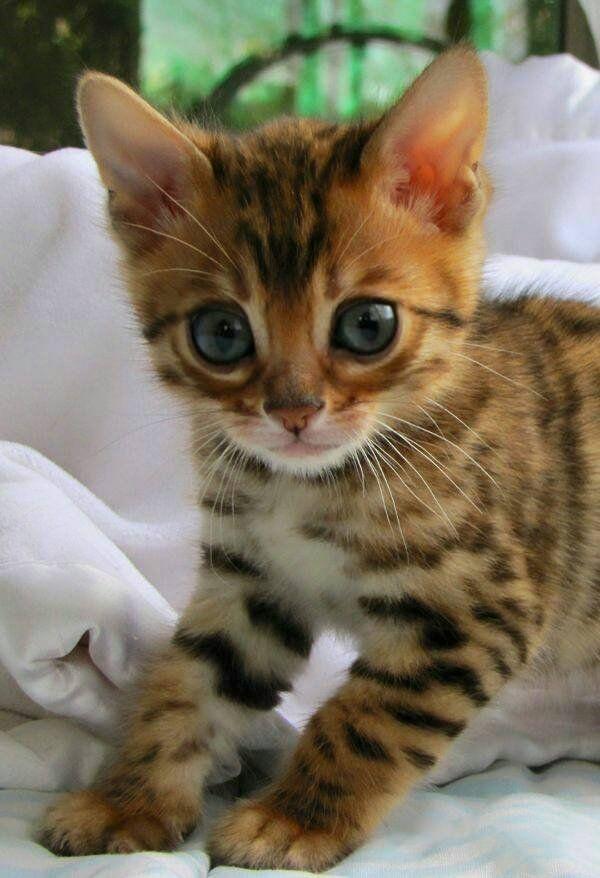 Pin By Barb Badten On Cute Kittens Bengal Kitten Bengal Cat