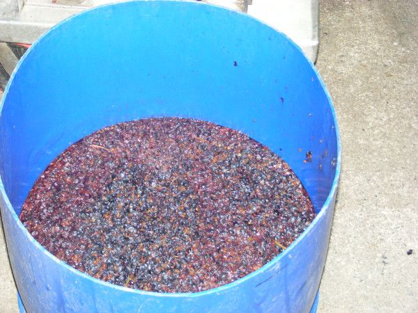 Bago Vineyards first pick of Norton Grapes, first to be picked in Australia, only 30 bottles will be available