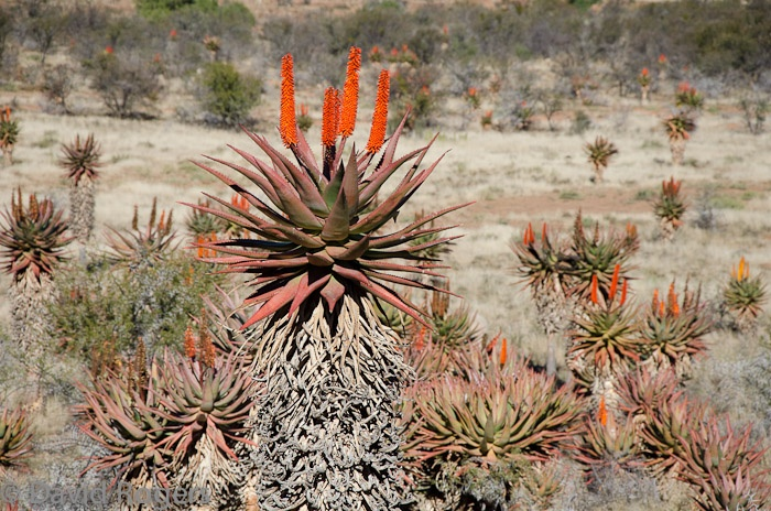 Aloes. A beautiful plant indigenous to South Africa.