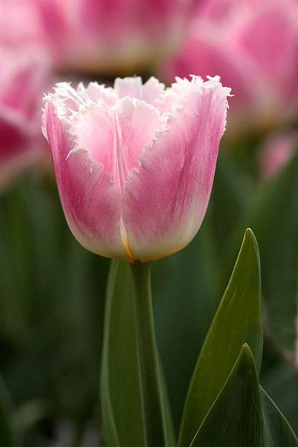 cute tulips pink flowers - photo #15