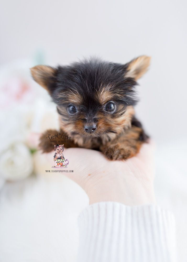Baby Doll Yorkie Puppy For Sale By Teacupspuppies Com Yorkshireterrier In 2020 Yorkie Puppy For Sale Puppies Yorkshire Terrier