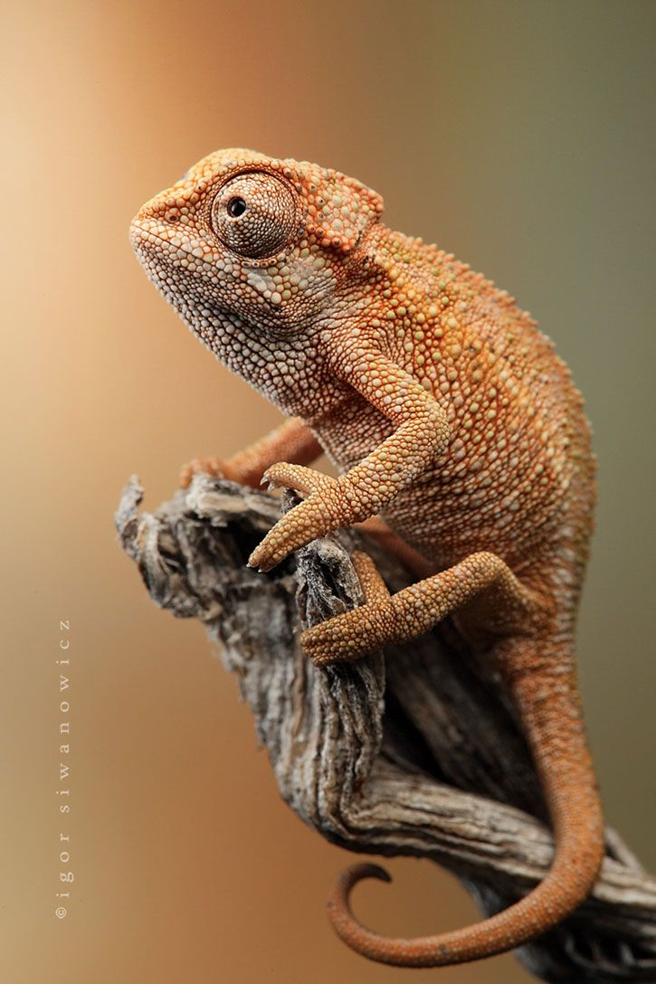25 amazing chameleon pictures - Extraordinary Wildlife Photography