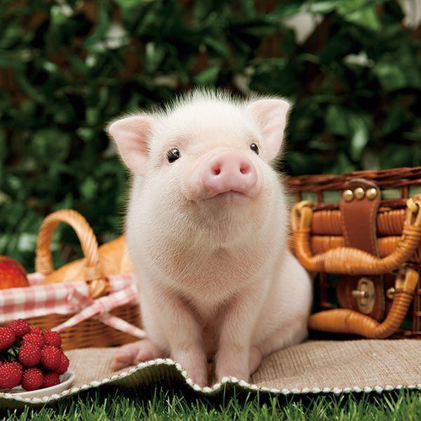 ピクニック中の豚の赤ちゃん