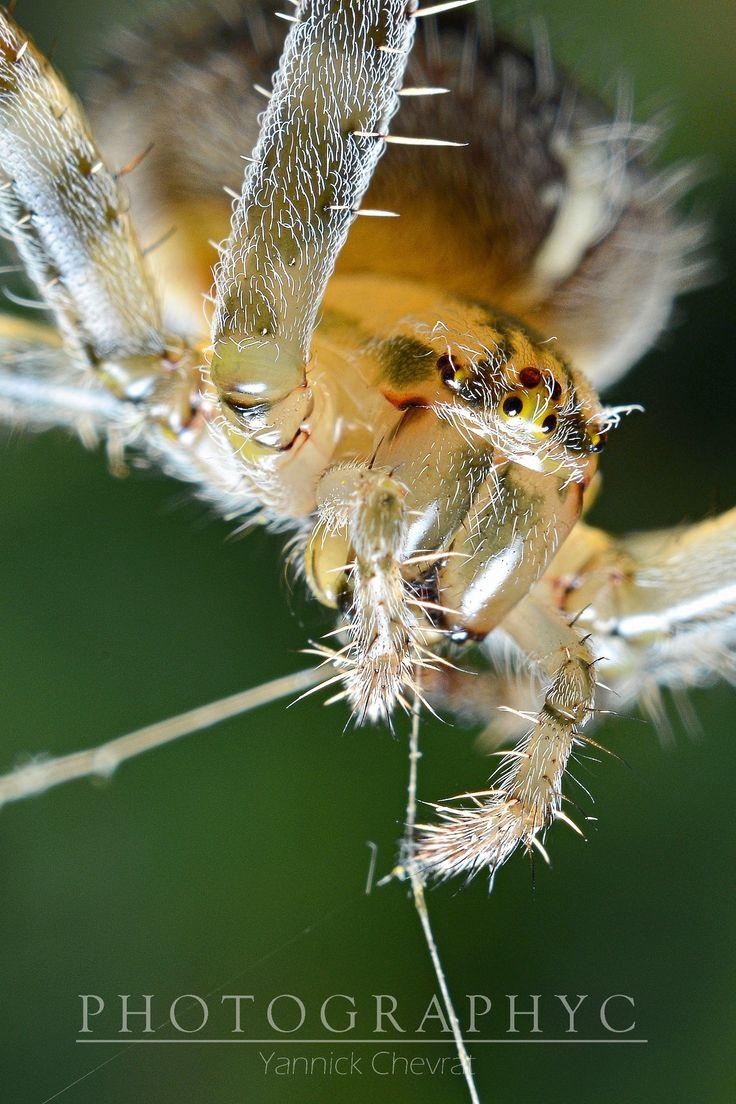 Araignée épeire spider by PHOTOGRAPHYC Yannick Chevrat on 500px