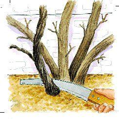 Tailler la glycine - Eliminer rameaux morts et vieilles branches
