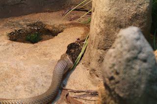 A snake eating a rat in Darwin #croccove #NTAustralia http://www.maidinaustralia.com/2015/07/snakes-rats-and-crocs-oh-my.html