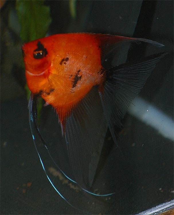 Red Koi Angelfish