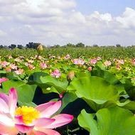 pink lotus Photo by Ilya Sadowsky — National Geographic Your Shot