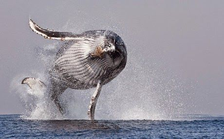 That's a humpback whale breaching completely out of the water.