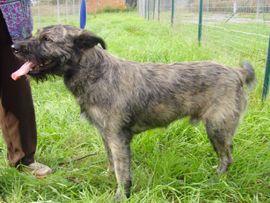 Stanley (Mâle Né en octobre 2009 Castré Griffon Stanley est une boule d'amour et d'énergie. De poil aussi! Il a un poil long mais ne le perd pas trop. Stanley adore sortir, jouer ou encore courir. Il peut vivre sans problème dans une famille avec d'autres chiens ou avec des enfants. N° de tatouage : 2 GKU 645)