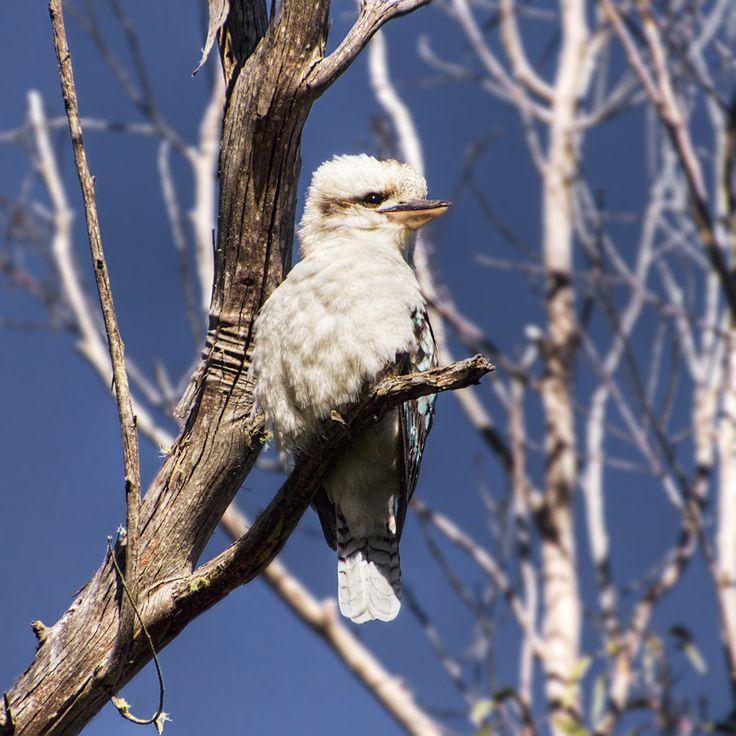 Kookaburra | Australian birds, Backyard birds, Bald eagle