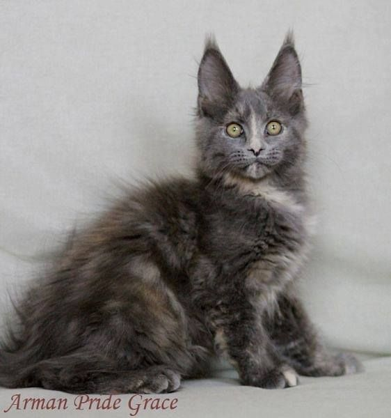 Maine coon kittens for sale orlando