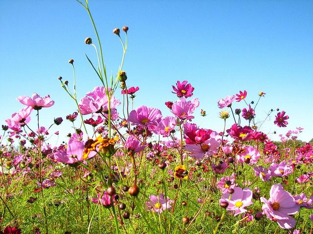 Wildflowers: Photos, Wildflowers, Mercer Photography, Cosmos, Fields, Backyards, Preeeti Flower