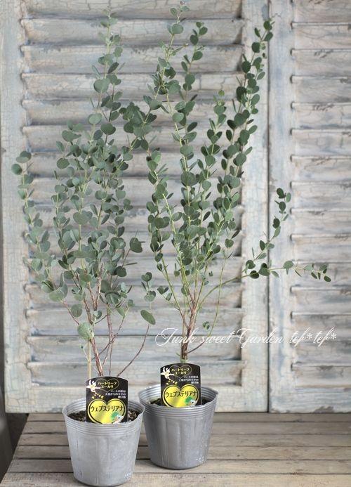 <i>Eucalyptus</i><BR><BR>ユーカリ<BR> ハートリーフ・ユーカリ 『ウェブステリアナ』