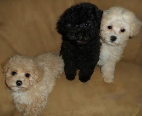 MALTI POO MALTIPOO Maltese /Poodle pups small hypo