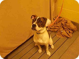 Upper Marlboro, MD - American Bulldog Mix. Meet *KANE, a puppy for adoption. http://www.adoptapet.com/pet/17682545-upper-marlboro-maryland-american-bulldog-mix