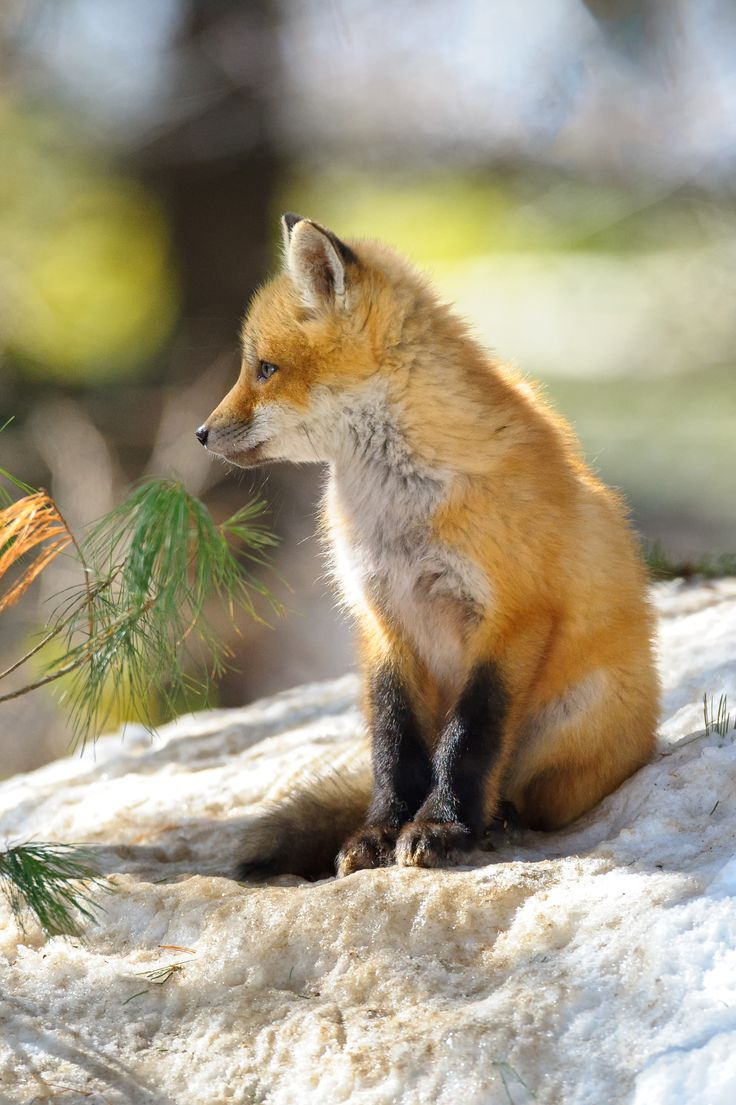 858 best animal fox images on pinterest red fox animals and