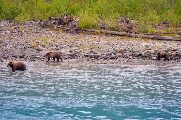 3 Bears fishing - Northern BC - Bear Aware Course Online