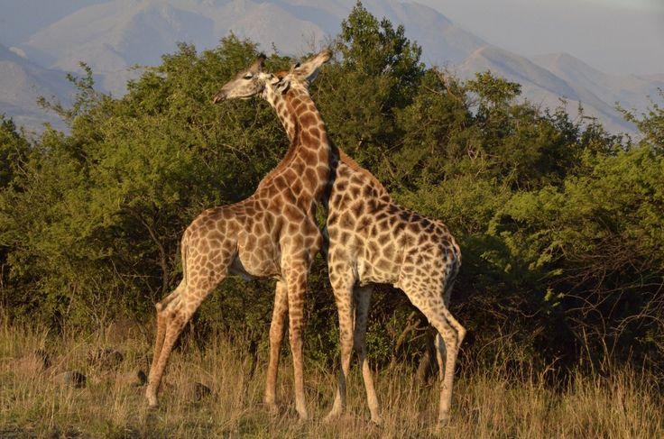 Safaripark in Zuid Afrika