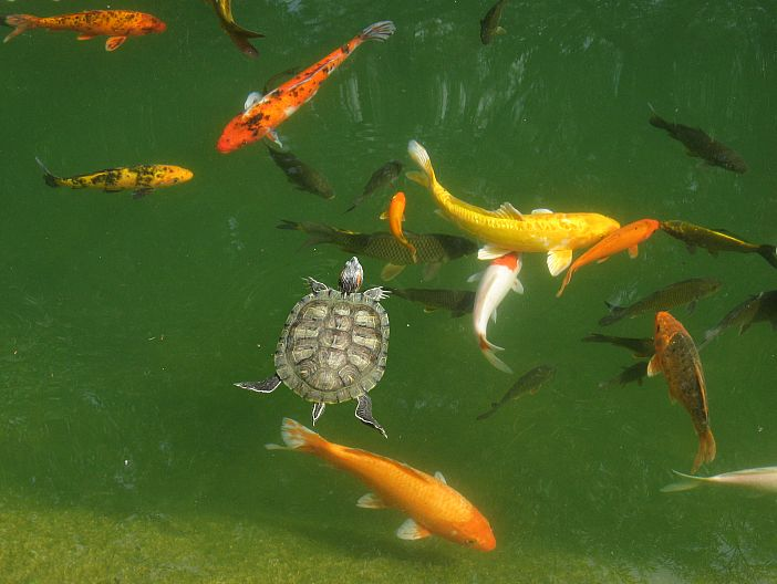 17 best images about koi on pinterest restaurant for Goldfish pond