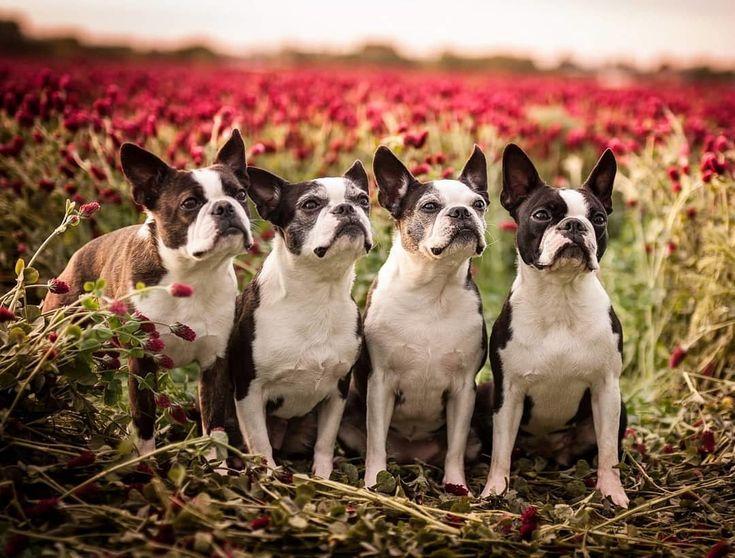 38++ Boston terrier health problems age ideas in 2021