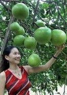 Pomelo - popis - Exotické ovoce