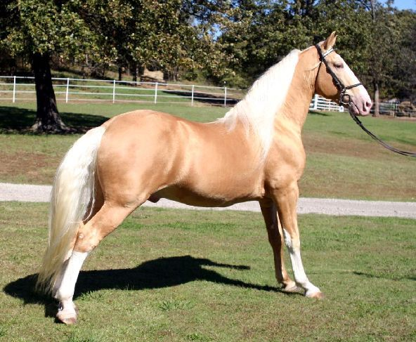 Best Horses Tennessee Walking Horses Images On