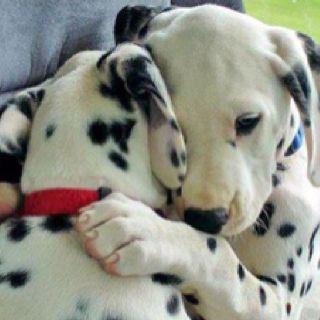 Had a Dalmatian named Domino