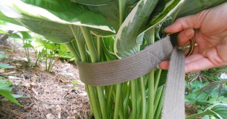 Astuces pour cultiver vos Hostas trucs de ces jardiniers! - Trucs et Astuces - Trucs et Bricolages