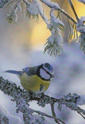 A Sinitiainen ~ Finnish winter bird /Passer Domesticus: postcards of birds.