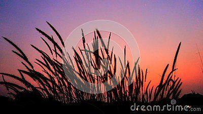 Silhoutte of wild grass when lights goes down