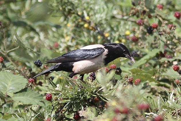 Burung Migran Nan Menawan Itu Bernama Jalak Mawar