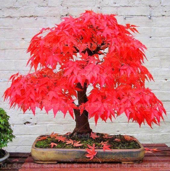 10PCS Potted Plant Seeds 100% True Japanese Red Maple Bonsai Tree Seeds Very Beautiful Indoor Ornamental Tree Garden Potted