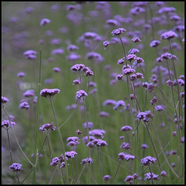 Dainty Little Purple Wildflowers