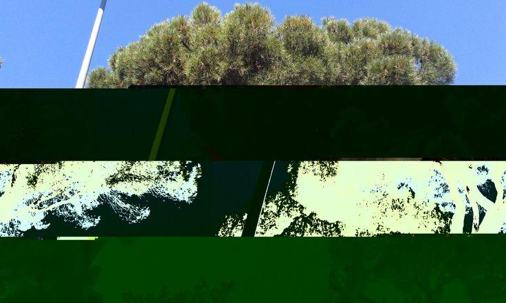 Nom cientific: Pinus Pinea es un pinyoner,perque es molt alt. Te les fulles verdes i un tronc molt llarg. Forma pinyes. Nom:David i Eric