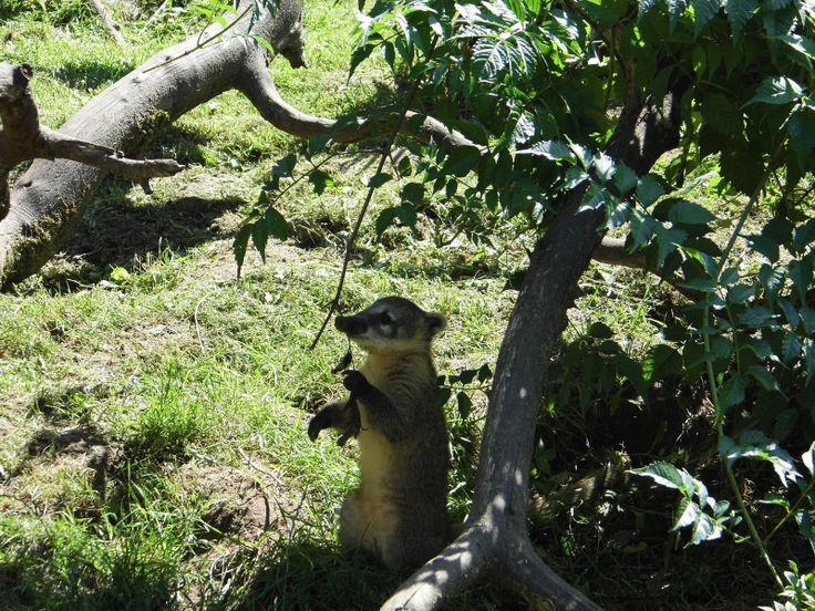 Zoo de La Flèche: coati brun