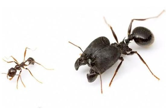 """We're Doomed: Scientists Create """"Supersoldier"""" Ants with Jaws"""