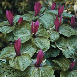 Purple Trillium. Shade-loving native Michigan perennial flower.