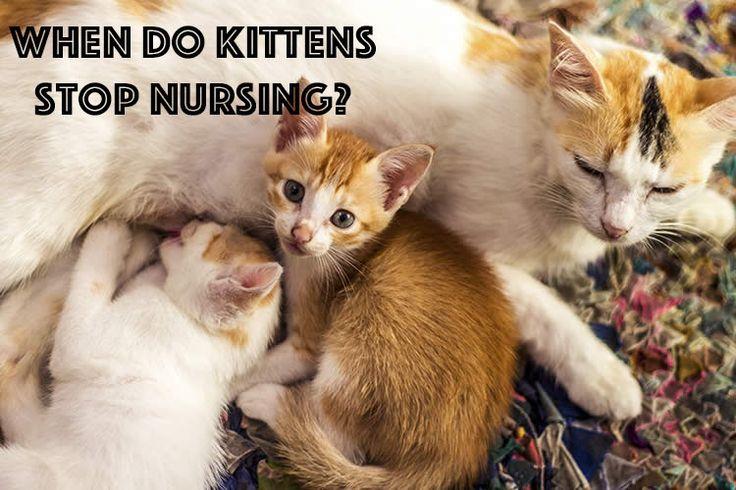 When Do Kittens Stop Nursing Cats And Kittens Kittens Kitten Health
