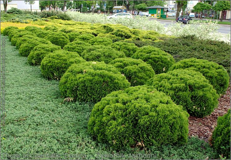 https://flic.kr/p/9HApCe | Thuja occidentalis 'Danica' - Żywotnik zachodni | zobacz więcej, see more : plantsgallery.blogspot.com/2011/05/thuja-occidentalis-dan...
