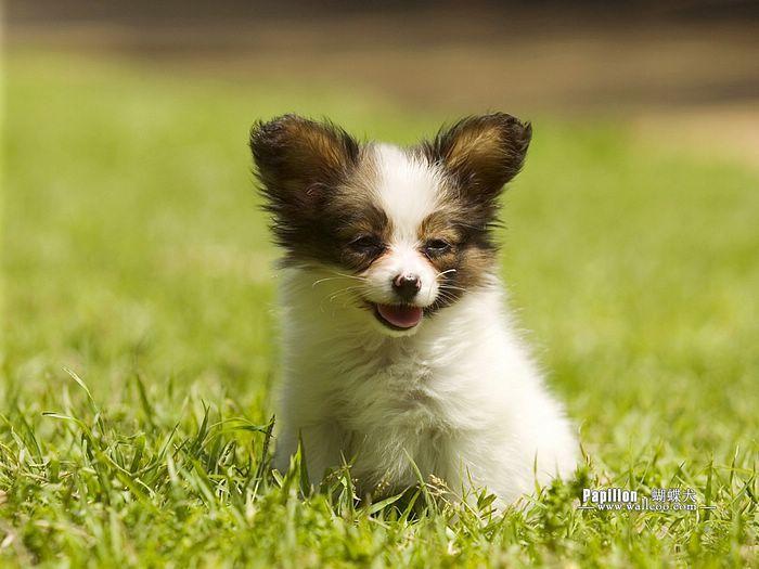 Best 25+ Papillon Puppies ideas on Pinterest | Papillon ...