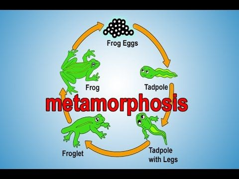 The frog metamorphosis is explained in 5 stages with real images in the frog's natural habitat. The frog lays eggs and then goes through the process in which a tadpole turns into a frog. It's called metamorphosis. Children get to see real frog eggs, tadpoles, tadpoles with legs, froglets and plenty of frogs in this metamorphosis of a frog video. This song identifies the stages and also tells important details of each stage.