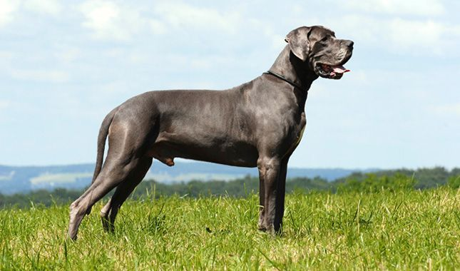 I think I'ld like to have a Great Dane - Great Dane Dog Breed Information