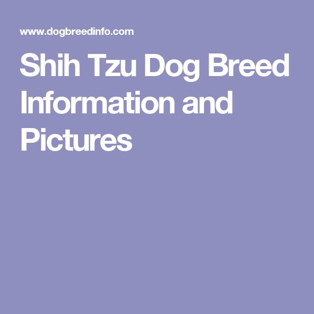 Shih Tzu Dog Breed Information and Pictures