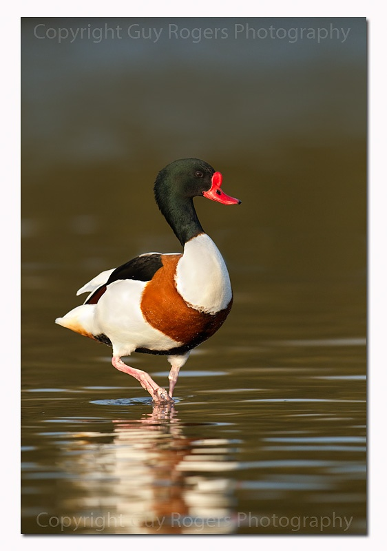 Shelduck at RSPB Titchwell on 7th Jan 2014