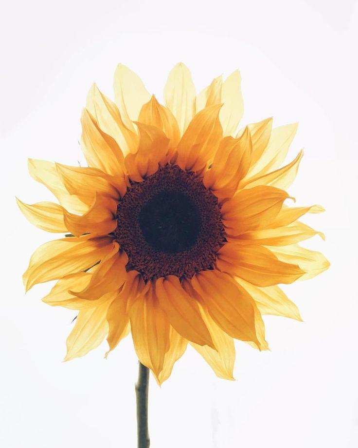 Best 25 Flower Desktop Wallpaper Ideas On Pinterest: Best 25+ Sunflower Iphone Wallpaper Ideas On Pinterest