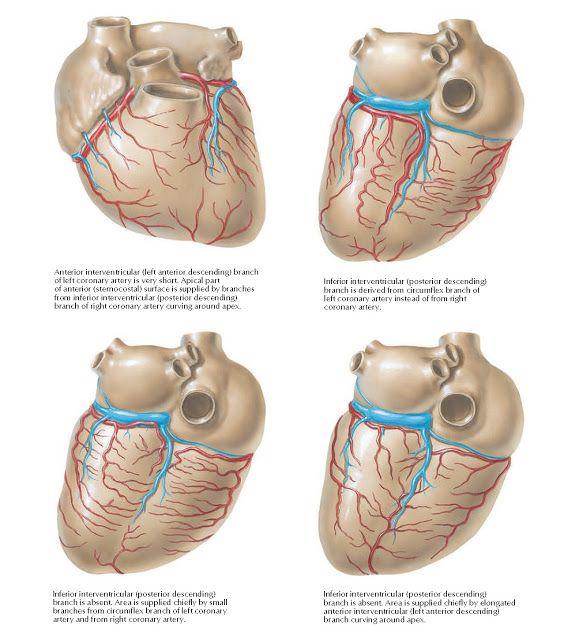 Coronary Arteries And Cardiac Veins Variations Anatomy