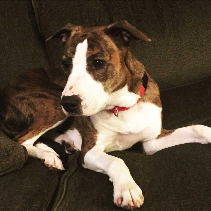 American Staffordshire Terrier dog for Adoption in Durham